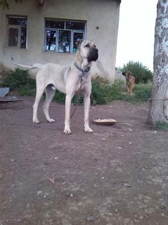سگ سرابی 88