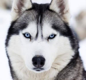 سگ هاسکی 4