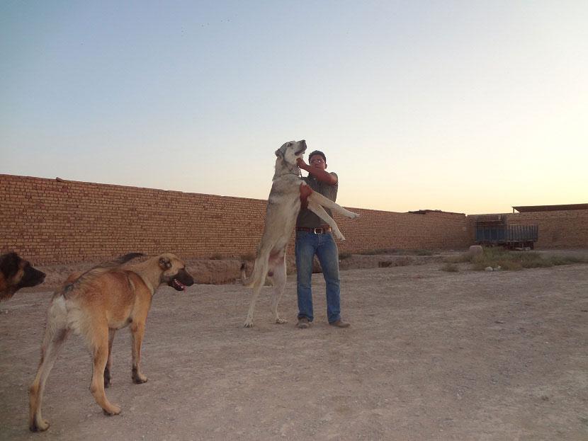 سگ سرابی 11