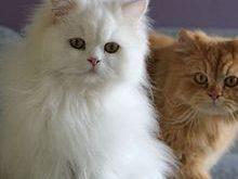 نگهداری از گربه های پرشین 0000