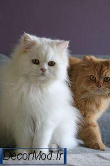 انواع نژاد گربه پرشین 11