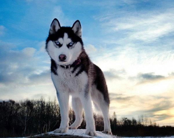 سگ هاسکی 13