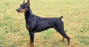 سگ دوبرمن 000