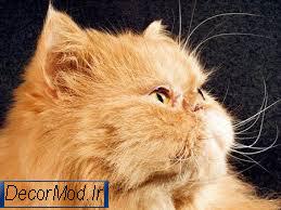 گربه پرشین 11