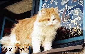 گربه پرشین 22