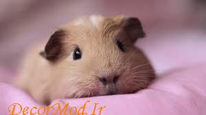 خوکچه هندی 3