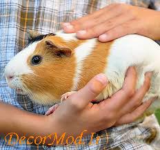 خوکچه هندی 5