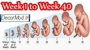 بارداری هفته به هفته با تصویر جنین 7