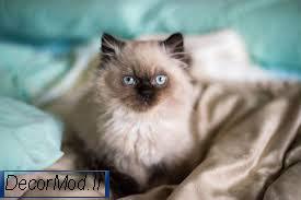 گربه پرشین 33