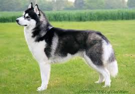 سگ هاسکی 6