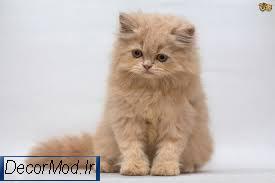 گربه پرشین 77