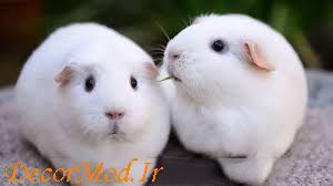 خوکچه هندی 10