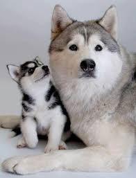 سگ هاسکی 10