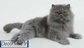انواع نژاد گربه پرشین 7