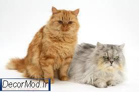 نگهداری از گربه های پرشین 777