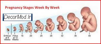 بارداری هفته به هفته با تصویر جنین 15
