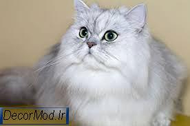 انواع نژاد گربه پرشین 2