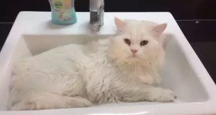 انواع نژاد گربه پرشین 000