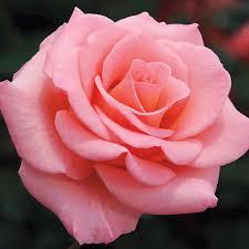 گل رز صورتی