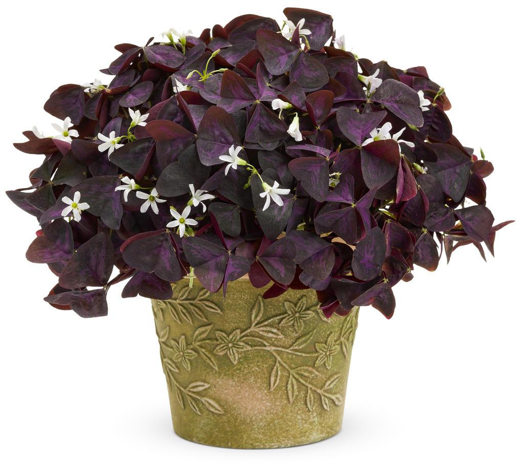 گل آپارتمانی شبدر زینتی