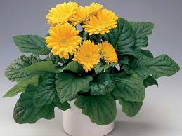 گل ژربرا جامزونی