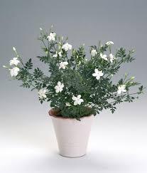 گل یاس سفید