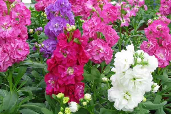 پرورش گلهای زینتی منزل .گلهایی رنگارنگ
