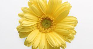 گلها خواص درمانی نیز دارند .خواص درمانی گل زرد.