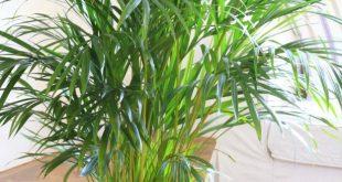 شناخت گیاهان تزیینی زیبا مانند اریکا پالم